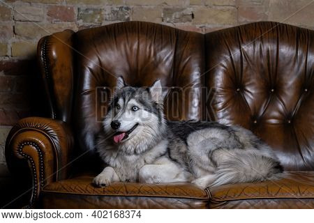Beautiful Fluffy Husky Sits On A Brown Leather Sofa. Portrait Of A Husky Dog Close Up. Adult Husky D