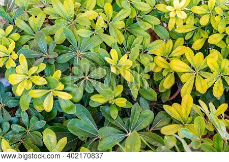 Close Up Schefflera Green And Yellow Leaves In Sunny Day