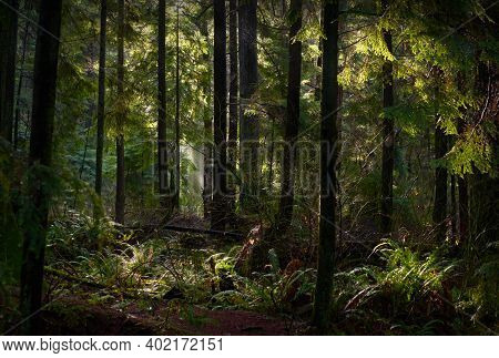 Rainforest Mist And Sun. Tall Trees And A Lush, Temperate Rainforest Floor Of The Pacific Northwest.