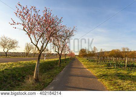 Almond Blossom Along The German Wine Route Near Bad Duerkheim, Rhineland-palatinate, Germany