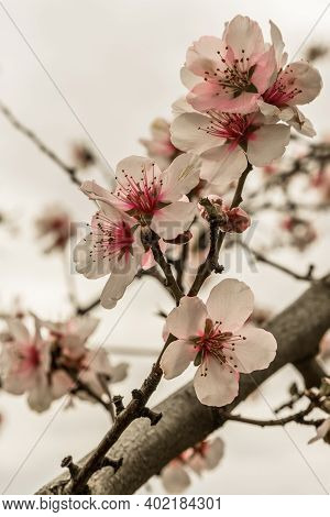 Close Up Of A Blooming Almond Tree Branch, Bright Background. Almond Blossom At The German Wine Rout