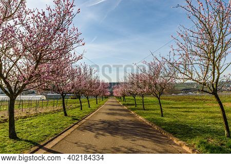 Almond Blossom At The German Wine Route, Geilweilerhof, Siebeldingen, Rhineland-palatinate, Germany
