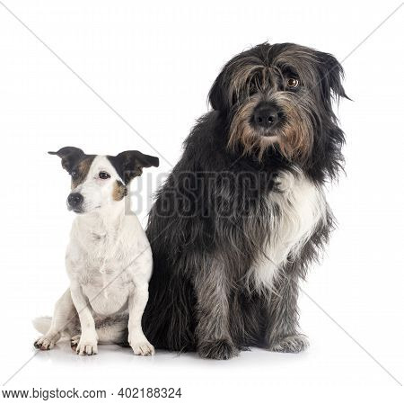Jack Russel Terrier And Pyrenean Sheepdog In Front Of White Background