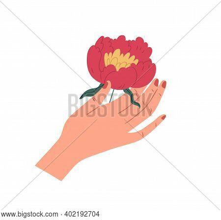 Female Hand Holding Gorgeous Japanese Peony. Elegant Flower With Lush Red Petals Isolated On White B