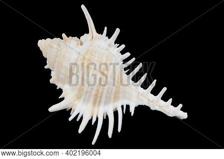 Seashell Isolated On A Black Background. Macro Photography.  Beautiful Seashell Close-up.