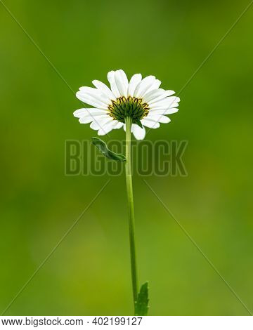 Flowering Oxeye Daisy (leucanthemum) From Below On A Cloudy Day In Summer, Austrian Alps