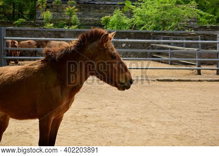 Equus Przewalskii Caballus. Przewalskis, Dzungarian Or Mongolian Or Asian Wild Horse, Is A Rare And