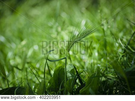 Green Spikelet In The Grass. Tender Beautiful Green Spikelets In The Field, Green Grass Close-up, Na