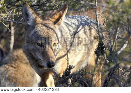 Large coyote peering through brush at Santa Susana Pass State Historic Park near Los Angeles and Simi Valley in Southern California.