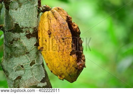 The Cocoa Bean Or Simply Cocoa. Close Up Detail Of Cocoa Beans On The Tree, Fresh And Ripe Cocoa Bea