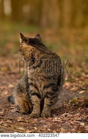 Cat Sitting In The Field On Autumn Day. Cat In The Yellow Leaves In The Park
