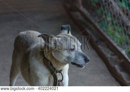 Mongrel Dog In Shelter Waiting For Adoption. Dog Is Wondering About Adoption And New Home. Mongrel D
