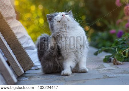 Kitty Scratches Behind The Ear With Its Paw In Spring Garden. Animal Health And Pet Care. Fleas And