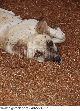 Beautiful Young Dog Lying On Sorrel Seeds In The Courtyard. Cheerful Young Dog