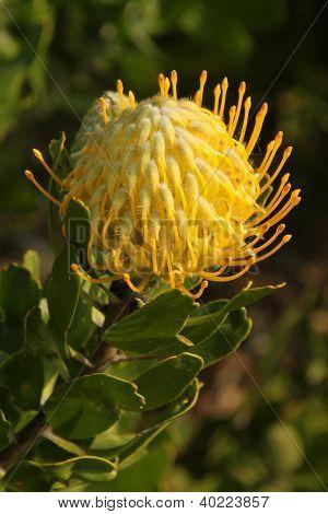 Pincushion Protea, at Kirstenbosch National Botanical Garden, Cape Town, South Africa
