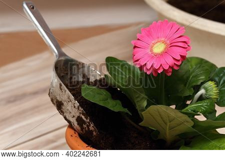 Replanting Of Potted Flower Gerber Daisy At Home.  Seedling Is Replanting Into Bigger Flower Pot.