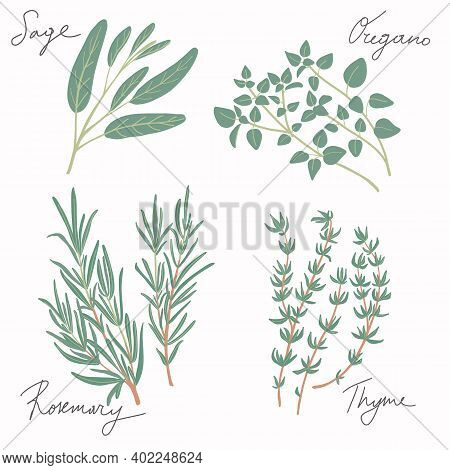 Fresh Green Culinary And Medicinal Mediterranean Herbs Set Isolated On White Background. Thyme, Sage