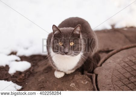 Stray Grey Smoky Short-haired White-breasted Yellow-eyed Domestic Cat Sitting Warming Up On Cold Gre