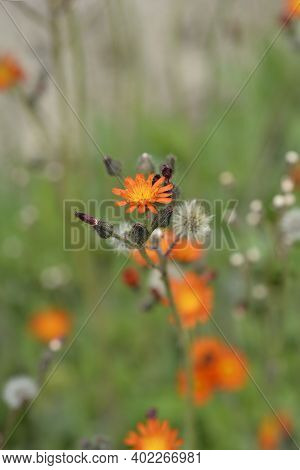 Orange Hawkweed Rotgold Hybrids - Latin Name - Pilosella Aurantiaca Rotgold Hybrids (hieracium Auran