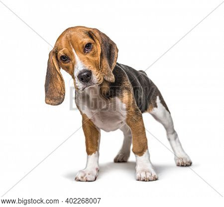 Young puppy three months old Beagle dog standing in front, isolated