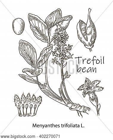 Trefoil Bean, Vintage Engraved Illustration. More Realistic Botanical Illustration. Image For Your D