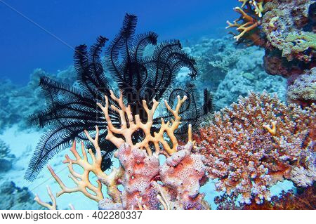Beautiful Underwater Scene Of Coral Reef With Black Sawtoothed Feather Star (oligometra Serripinna)