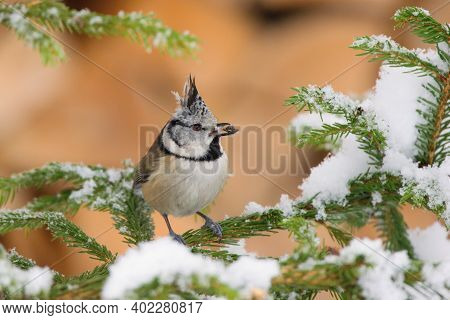 Beautiful Winter Scenery With European Crested Tit Sitting On The Spruce Branch (lophophanes Cristat