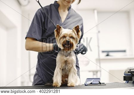 Yorkshire Terrier Getting Procedure At The Groomer