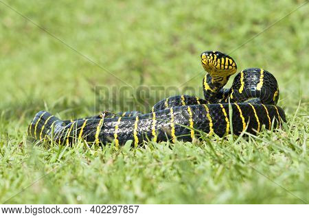 Boiga Dendrophila, Commonly Called The Mangrove Snake Or The Gold-ringed Cat Snake, Is A Species Of