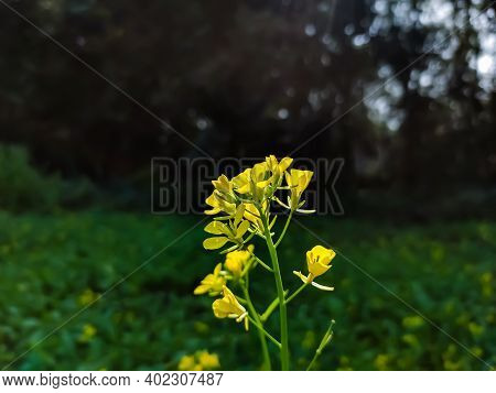 Vthe Mustard Plant Is A Plant Species In The Genera Brassica And Sinapis In The Family Brassicaceae.
