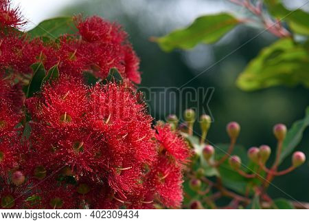 Red Blossoms And Pink Buds Of The Australian Native Flowering Gum Tree Corymbia Ficifolia Wildfire V