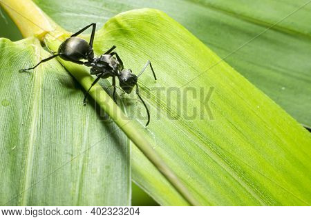 Black Ants On A Bamboo Leaf Background. One Of The Large Ants. Insect Members Of The Tribe Formicida