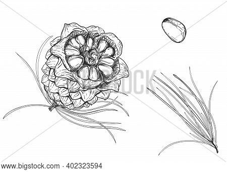 Hand Drawn Sketch Black And White Of Cedar Nut, Leaf, Seeds, Pine. Vector Illustration. Elements In