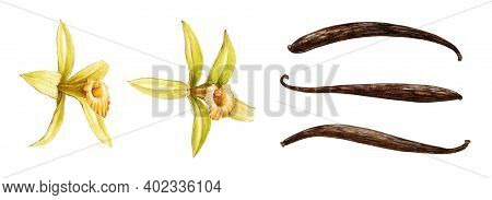 Vanilla Orchid Flowers With Dry Beans Watercolor Set. Hand Drawn Realistic Aroma Herb With Seed Pods