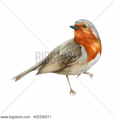 Robin Bird Watercolor Illustration. Beautiful Song Bird Single Side Image. Hand Drawn Close Up Small