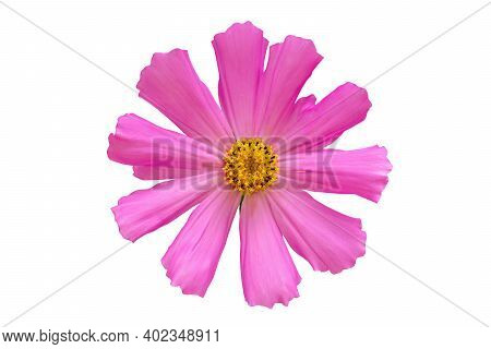 Dreamy Pink Cosmos Single Flower Isolated On White Background Closeup. Macro With Soft Focus. Pastel