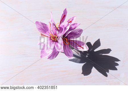 Autumn Still Life Scene.crocus Sativus, Commonly Known As Saffron Crocus On A White Background In Su