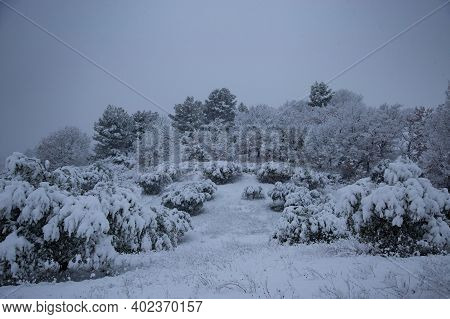 Olive Grove In The Snow, Provence, France.  An Olive Grove Transformed By A Winter Blizzard.