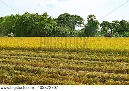 Two Combine Machines Working In The Golden Paddy Field On The Harvest Season