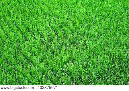 Vibrant Green Immature Rice Plants Growing In The Paddy Field