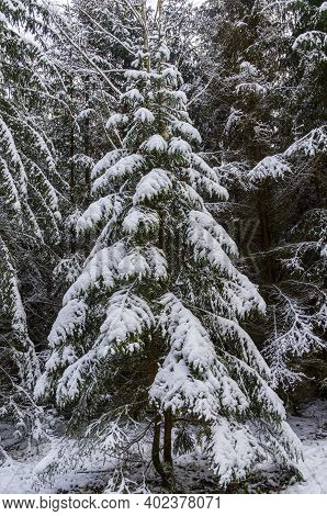Nach Schneefall Im Winterwald. Harz Sachsen -anhalt