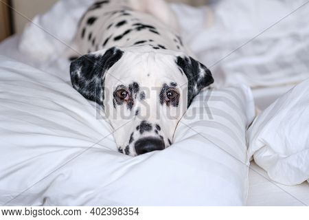 Dalmatian Dog Lying Down In White Bed And Looking At The Camera. White And Black Spotted Dalmatian D