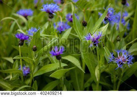 Blue Flowers Cornflowers In The Garden. Cornflower In The Flowerbed. Summer Wildflower. Field Of Flo