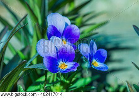Perennial Violet (viola Tricolor) Or Pansies, Or Horned Violet. Violets Close Up. Soft Selective Foc