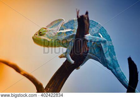The Chameleon Reptile In Gradation Color, Macro Animal, Close Up Lizard