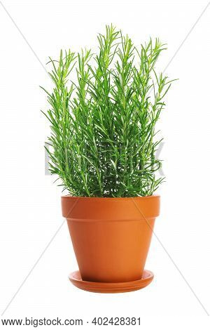 Studio Shot Of A Fresh Green Rosemary Bush In A Brown Clay Flower Pot With Saucer.png File With Tran