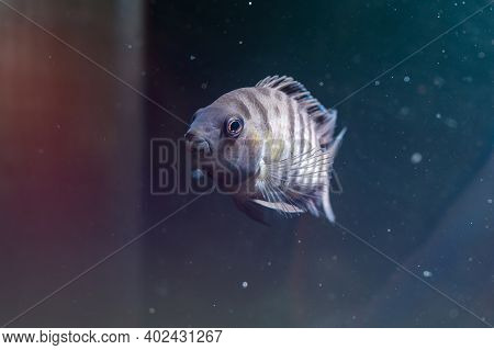 Fish With Black Stripes. Big Beautiful Fish Underwater. Pets In The Aquarium. Large Fins, Tail And S