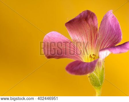 Closeup Of Oxalis Corniculata Flowers With Nice Background Color
