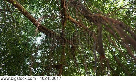 Tree Branches And Vines Intertwined. Jungles Of Thailand. Long Vines Hang Like Ropes From The Trees.