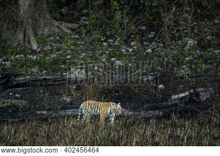 Wild Bengal Tiger Of Terai Region Forest At Uttarakhand India - Panthera Tigris Tigris